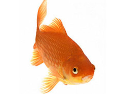 Main goldfish